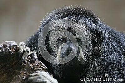 Monk Saki Monkey