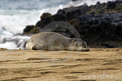 Monk Seal on beach of Kauai