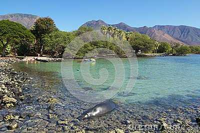 Monk seal at Monk seal sleeping Editorial Photo