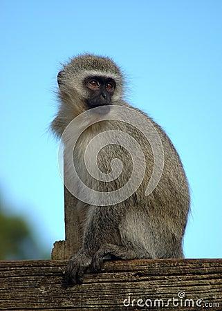Free Monkey Stock Images - 1118054