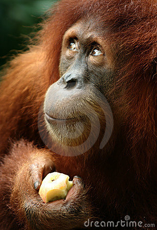 Free Monkey Royalty Free Stock Photography - 14282827