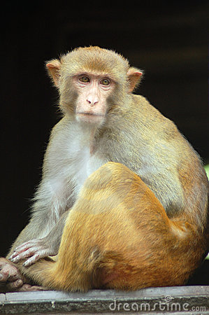Free Monkey Royalty Free Stock Photography - 20683737