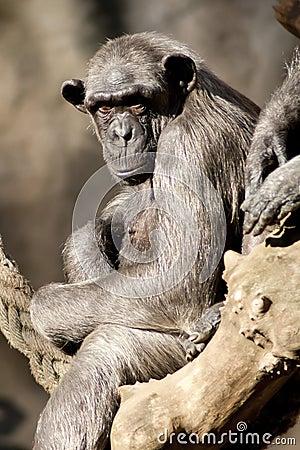 Free Monkey Royalty Free Stock Photos - 33465638