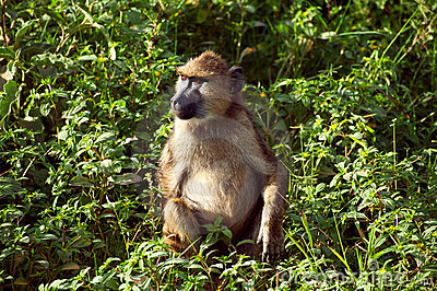 Monkey from Africa