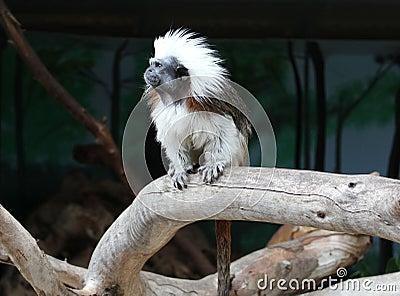 Monkey ape simian jocko copycat irakez mimic