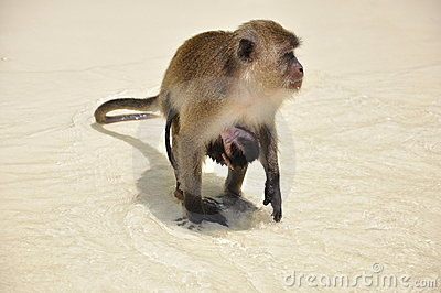 Monkey with baby attached, on the beach