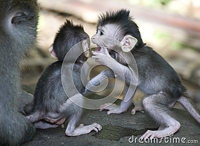 Monkey from bali
