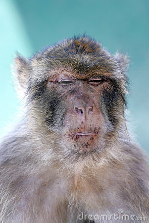 Monkey or Barbary ape with funny look on face