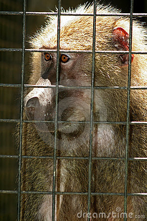 Monkey Behind Bars Stock Photos - Image: 1279753