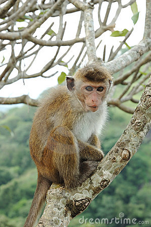 Monkey - Bonnet Macaque (Macaca radiata)