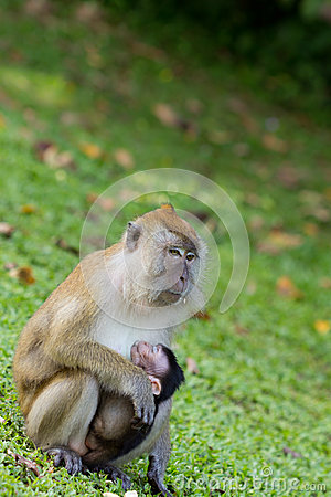 Monkey breastfeed her baby