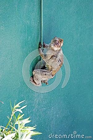 Free Monkey Climbing Wall In Gibraltar Royalty Free Stock Image - 219786