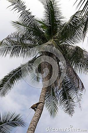 Monkey in a coconut tree