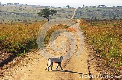 Monkey crossing long winding dirt road