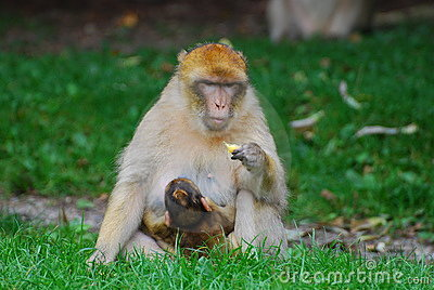 Monkey with cub