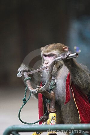 Monkey cycling  of circus