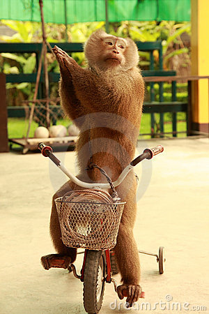 Free Monkey Cyclist Royalty Free Stock Images - 10970929