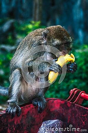 Free Monkey Eating A Banana Stock Photography - 90096272