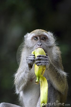 Free Monkey Eating Banana Royalty Free Stock Photo - 11079385