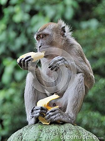 Free Monkey Eating Banana Stock Images - 8660714