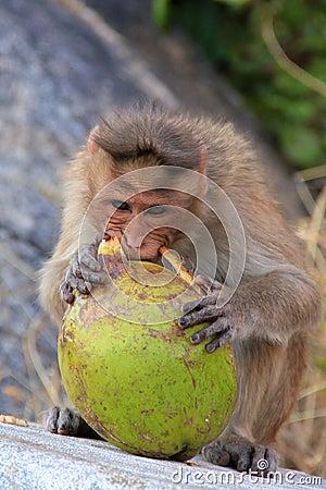 Monkey at Anjaneya Hill with Hanuman temple (monkey temple) Hampi Karnataka India