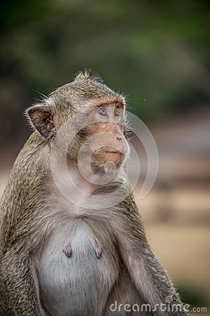 Monkey eating and having fun at Ankor Wat temple. Asia wildlife.