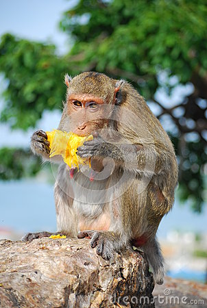 Monkey Eating Jack fruit