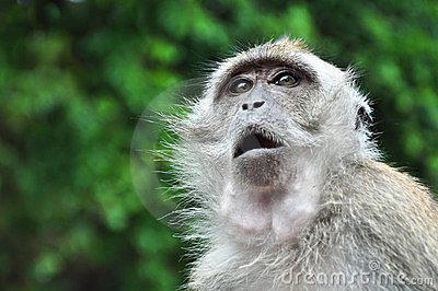 Monkey with Eyes and Mouth Open Wide