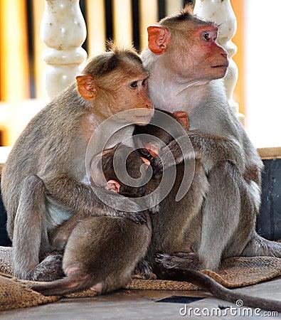 Free Monkey Family Royalty Free Stock Photo - 26951575