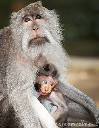 Free Monkey Feeds Her Cub. Animals - Mother And Child Stock Photo - 44405270