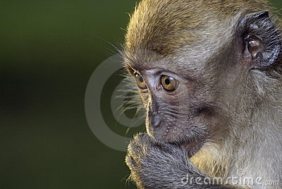 Monkey with fingers in mouth