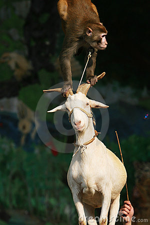 Monkey and goat acrobats of circus