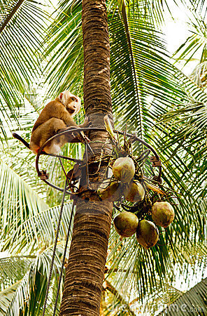 The monkey for the harvest of coconuts