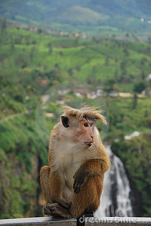 Free Monkey In Front Of Devon Falls, Sri Lanka Royalty Free Stock Photo - 23246595