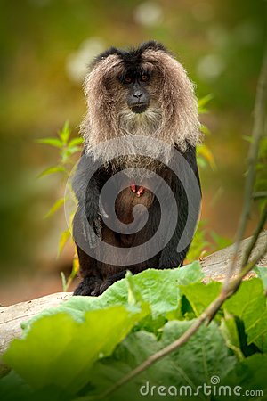 Free Monkey Lion-tailed Macaque, Macaca Silenus, Animal On Green Tropic Forest Habitat. Lion-tailed Macaque, Endemic To The Western Gha Royalty Free Stock Images - 104353629