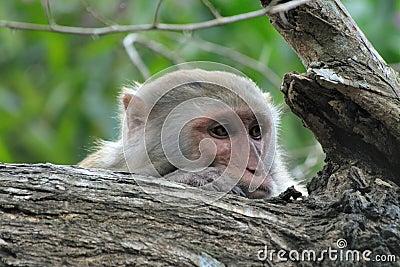 Monkey longing