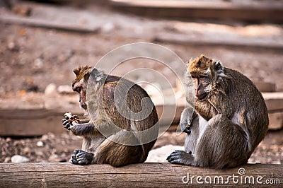 Monkey (Macaca fascicularis) .