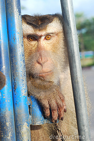 Monkey Macaque Coconut See