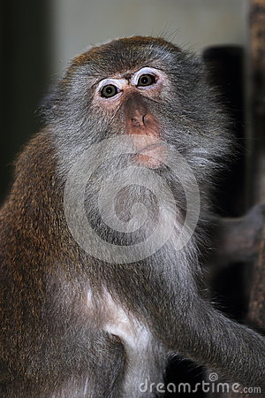 Monkey Macaque, Railay, Krabi,  Thailand