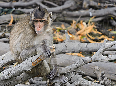 Monkey macaques