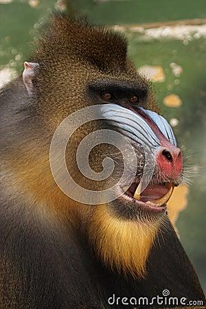 Free Monkey Mandrill Stock Photo - 1535080