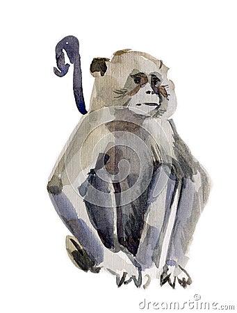 Monkey (marmoset)