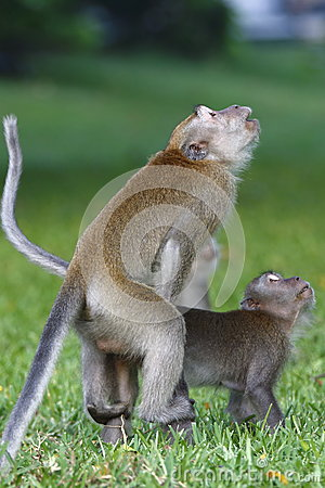 Monkey mating 1