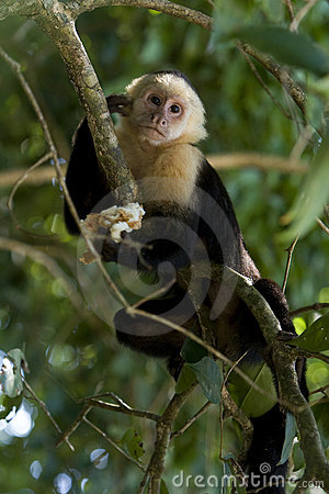 Free Monkey Model Stock Photography - 12557632