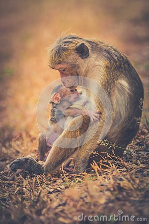 Free Monkey Mom With Son Puppy. Bonnet Macaque Monkeys. Royalty Free Stock Images - 130304799