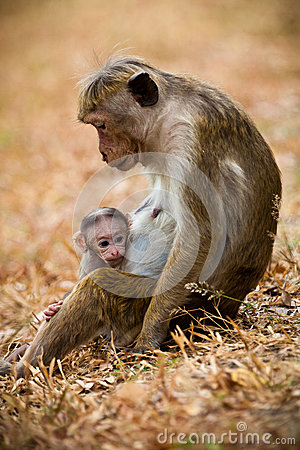 Free Monkey Mom With Son Puppy. Bonnet Macaque Monkeys. Stock Photo - 89213050