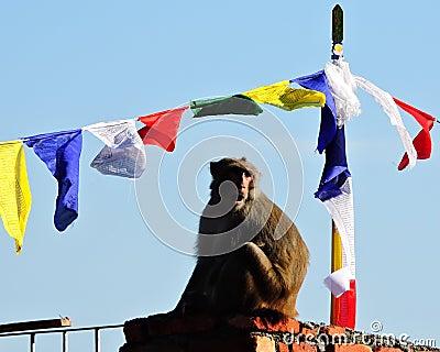 Monkey Mother Baby Rhesus Macaque India
