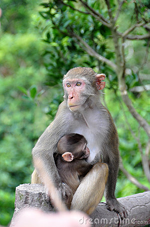 Monkey mother protect baby monkey