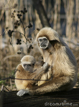 Free Monkey Mother With Child Royalty Free Stock Photos - 4314748