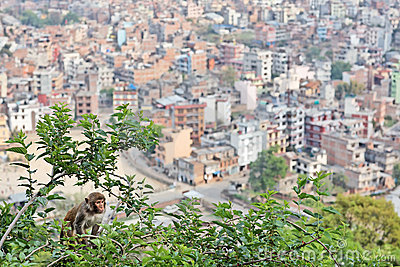 Monkey on the mulberry tree